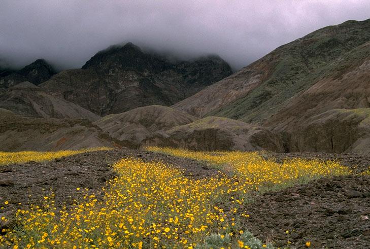 Spring Flower Bloom Death Valley National Park